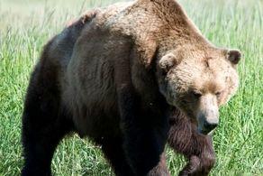 خرس قهوهای فیروزکوه با شلیک از فاصله نزدیک کشته شدهاست