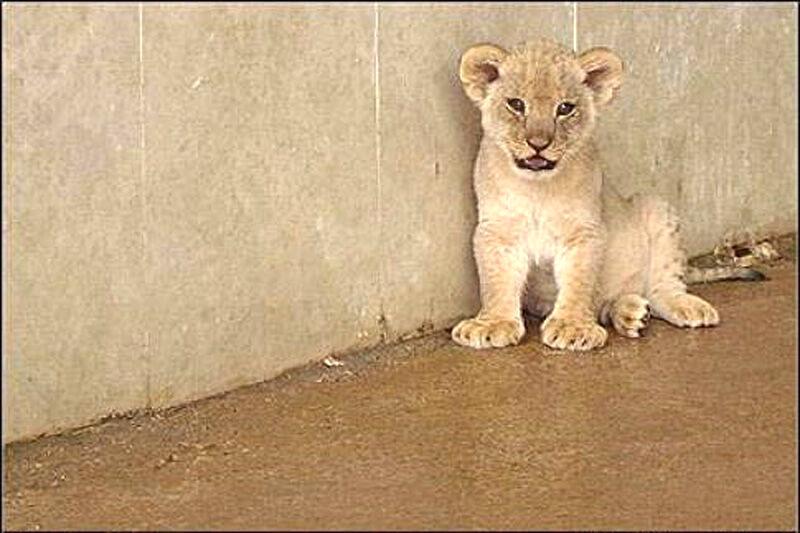 علت مرگ توله شیرهای باغ وحش تبریز تولد نارس آنها بود