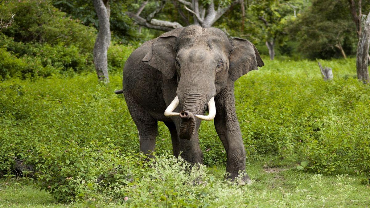 در هند فیلها هم تست کرونا میدهند!