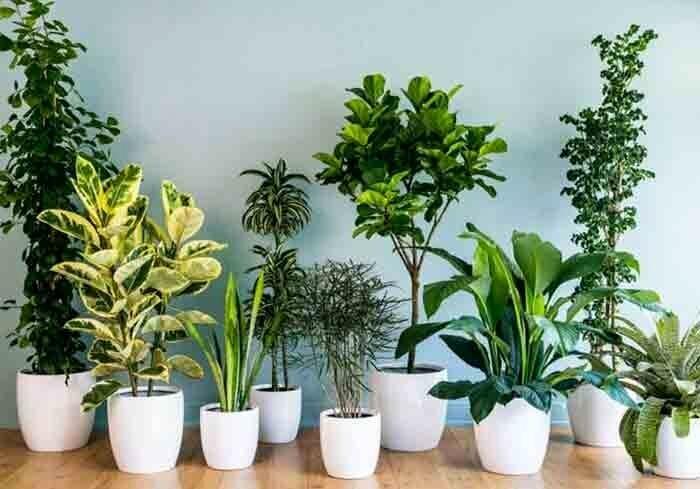 آشنایی با گیاهان مفید برای تأمین اکسیژن خانه در دوران نقاهت بیماری کرونا